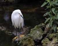 Śnieżnego Egret pozycja Obrazy Royalty Free