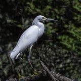 Śnieżnego Egret stojaki na linii brzegowej fotografia royalty free