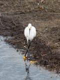 Śnieżnego Egret taniec Zdjęcie Royalty Free
