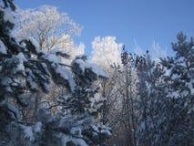 Śnieżni coverd drzewa Stycznia ranek Zdjęcia Royalty Free