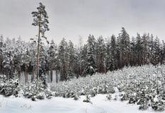 Śnieżni drewna Fotografia Stock