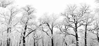 śnieżni drzewa Zdjęcie Royalty Free