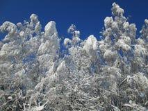 Śnieżni drzewa na świetle słonecznym zdjęcia stock