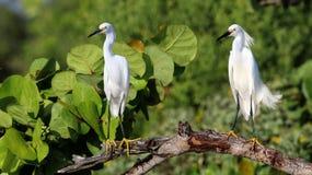 Śnieżni Egrets Zdjęcie Stock