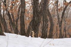 Śnieżni klony Zdjęcia Stock