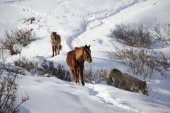 Śnieżni konie obrazy royalty free