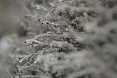 Śnieżni krzaki Obrazy Royalty Free