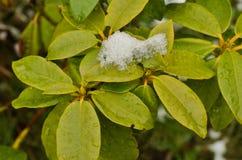 Śnieżni liście różanecznik obrazy royalty free