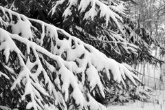 śnieżni objętych sosnowi drzewa Zdjęcia Royalty Free