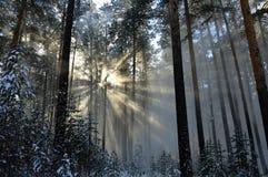 Śnieżni pyłu słońca promienie błyszczy przez spadać od drzew śnieg W zima lesie Fotografia Stock