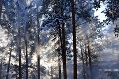 Śnieżni pyłu słońca promienie błyszczy przez spadać od drzew śnieg W zima lesie Zdjęcie Stock