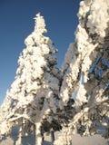 śnieżni qc zakrywający wiecznozieloni drzewa Zdjęcie Stock