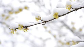 Śnieżni spadki na kwitnąć żółtą kornaliny wiśni gałązkę zdjęcie wideo