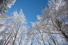Śnieżni treetops górują above w Bucegi parku narodowym, Rumunia obrazy stock