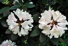 Śnieżnobiały różanecznik kwitnie, miękka część liści zielony rozmyty tło fotografia stock