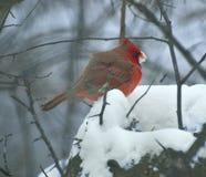Śnieżny łasowanie samiec kardynał zdjęcie royalty free