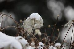 Śnieżny śnieg na Clematis ziarna głowie zdjęcia royalty free