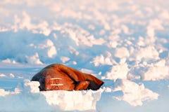 Śnieżny Arktyczny krajobraz z dużym zwierzęciem Morsy, Odobenus rosmarus, wtykają out od błękitne wody na bielu lodzie z śniegiem Zdjęcia Stock