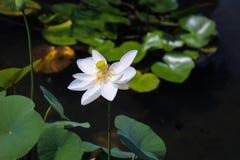 Śnieżny Biały Lotus obraz royalty free