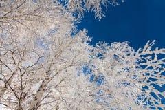 Śnieżny biel frosted drzewa Zdjęcia Royalty Free