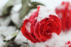 Śnieżny bouguet bight czerwieni róża z zielenią opuszcza lyhg na śnieżnym zbliżeniu Obraz Royalty Free