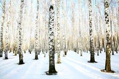 Śnieżny brzoza gaj w Grudniu Zdjęcie Stock