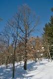Śnieżny deciduous las zdjęcie stock