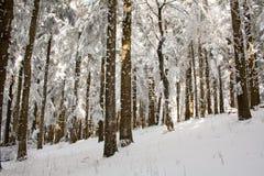 Śnieżny drewno Zdjęcie Royalty Free