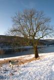 śnieżny drzewo Obrazy Royalty Free
