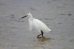 Śnieżny egret Obrazy Royalty Free