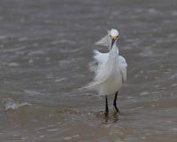 Śnieżny egret Zdjęcie Stock