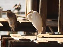śnieżny egret biel Zdjęcia Royalty Free