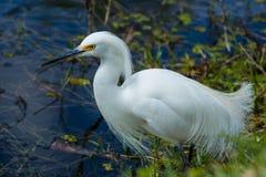 Śnieżny Egret (Egretta thula) Fotografia Stock