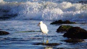 Śnieżny egret i swój chwyt Obraz Stock