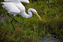 Śnieżny egret je ryba Zdjęcie Stock