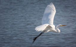 Śnieżny egret lata nad jeziorem Fotografia Stock