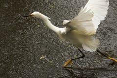 Śnieżny egret lata nad wodą w Floryda błotach Obraz Royalty Free