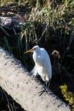 Śnieżny Egret Na beli Obrazy Stock