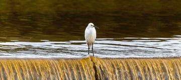 Śnieżny egret na siklawie jezioro Zdjęcie Royalty Free
