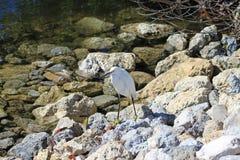 Śnieżny Egret na skałach Obrazy Royalty Free