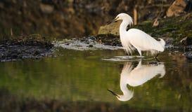 Śnieżny Egret Odbijający w wodzie Fotografia Royalty Free