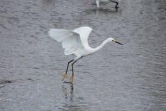 Śnieżny egret w locie Obrazy Royalty Free