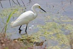 Śnieżny Egret w stawie Zdjęcia Stock