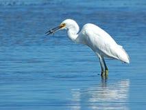 Śnieżny Egret z ryba Fotografia Royalty Free