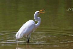 Śnieżny Egret z ryba! Zdjęcie Royalty Free