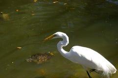 Śnieżny egret z ryba w belfrze obrazy stock