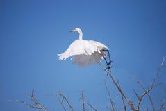Śnieżny Egret zdejmował Obraz Stock
