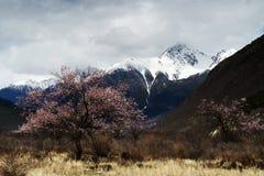 Śnieżny góry I brzoskwini drzewo Obrazy Royalty Free