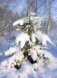śnieżny jodły drzewo Obrazy Royalty Free