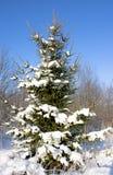 śnieżny jodły drzewo Fotografia Stock